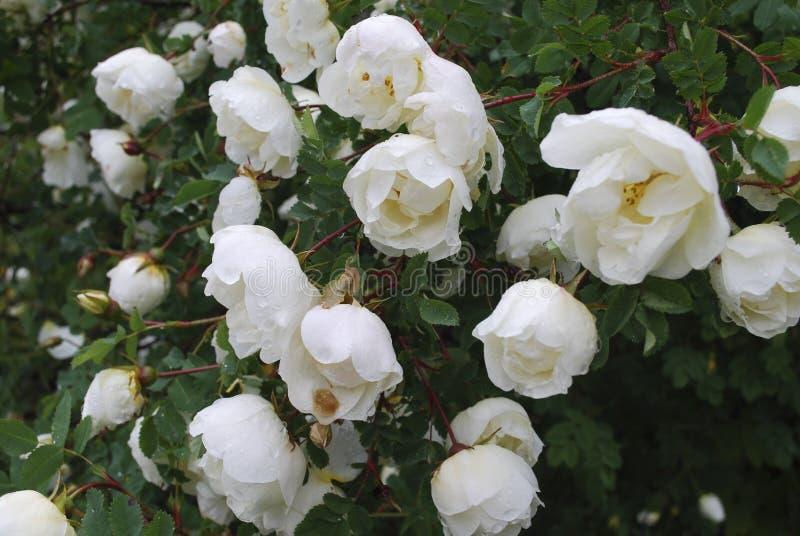 Цветение белых цветков pimpinellifolia Розы стоковые фотографии rf