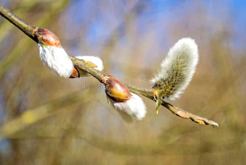 Download Цветение вербы стоковое изображение. изображение насчитывающей весна - 37931025