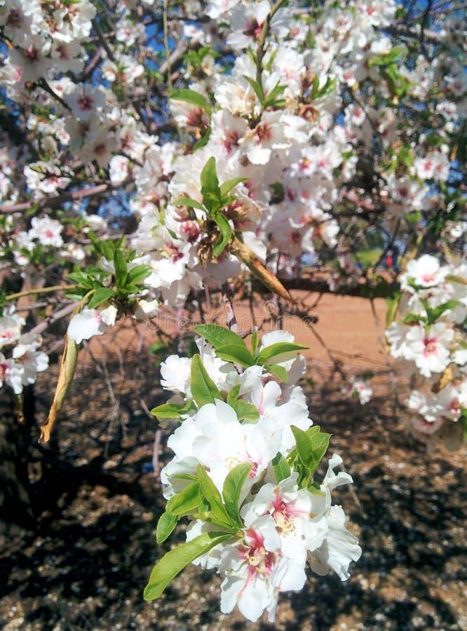 Цветение весны - миндальное дерево цветет изумительная плантация стоковое изображение rf