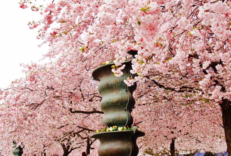 Цветение вишневого дерева стоковые фотографии rf