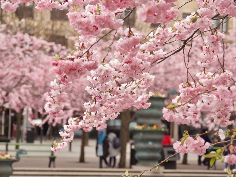Цветение вишневого дерева стоковая фотография rf