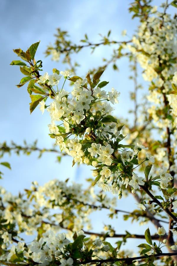 Цветение вишни белое и предпосылка голубого неба стоковое изображение