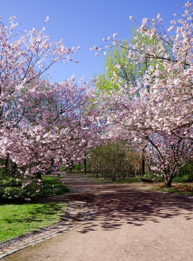 Цветение вишни весны стоковые фотографии rf