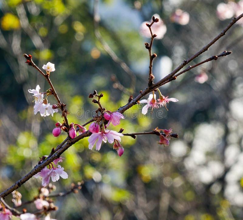 Цветение вишни в солнечный день весной стоковые изображения