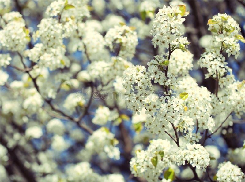 Цветение вишни птицы или сливы Padus. Белые цветки на весне стоковые изображения rf