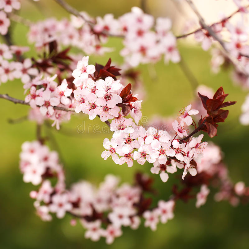 Цветение вишни Сакура в весеннем времени стоковые изображения rf