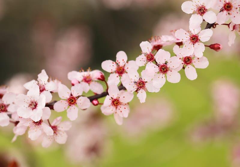 Цветение вишни Сакура стоковые фотографии rf