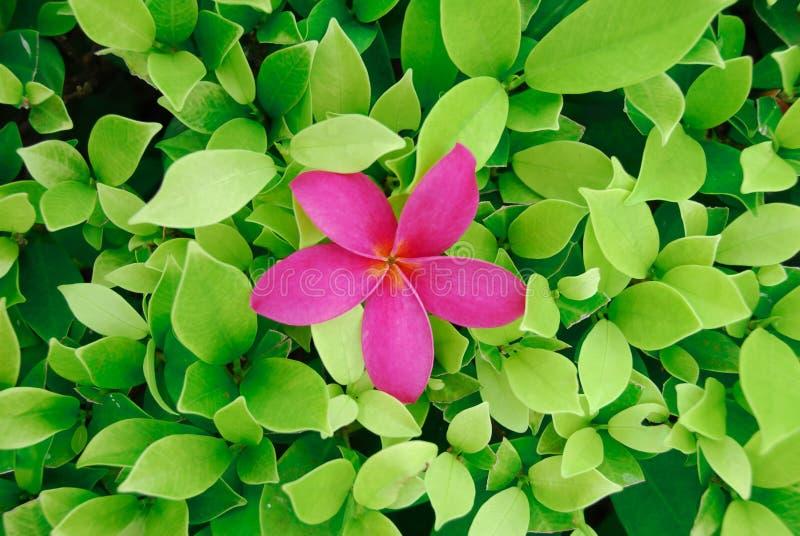 цветение выходит чай стоковые фото