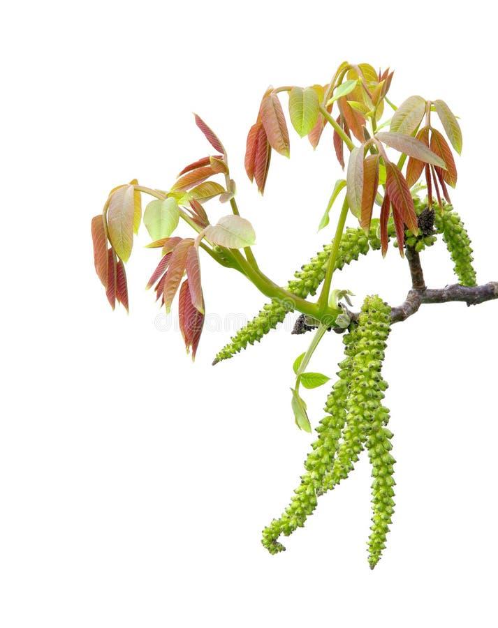 Цветение грецкого ореха стоковые фото