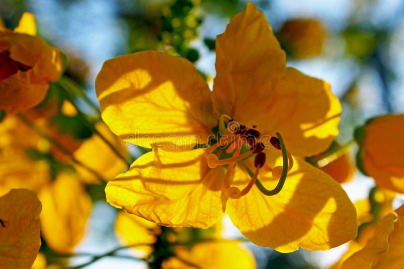 Цветение дерева медальона золота стоковое изображение rf