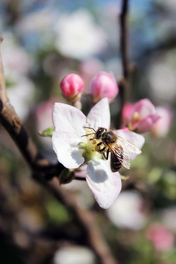 Цветение и пчела Яблока стоковое фото