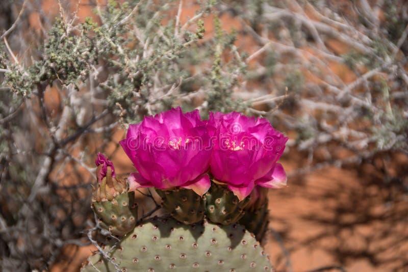 Цветение кактуса, долина огня, Невады, США стоковые фотографии rf