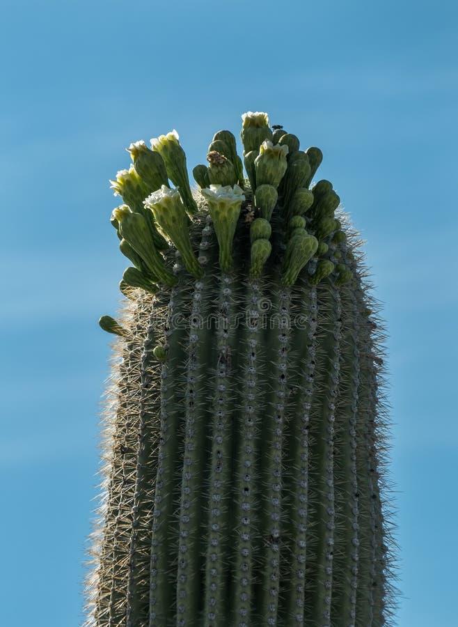 Цветение кактуса Saguaro стоковая фотография