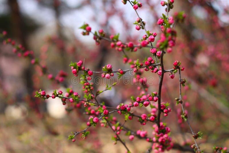 Цветение конца-вверх dauricum рододендрона красивое стоковая фотография rf
