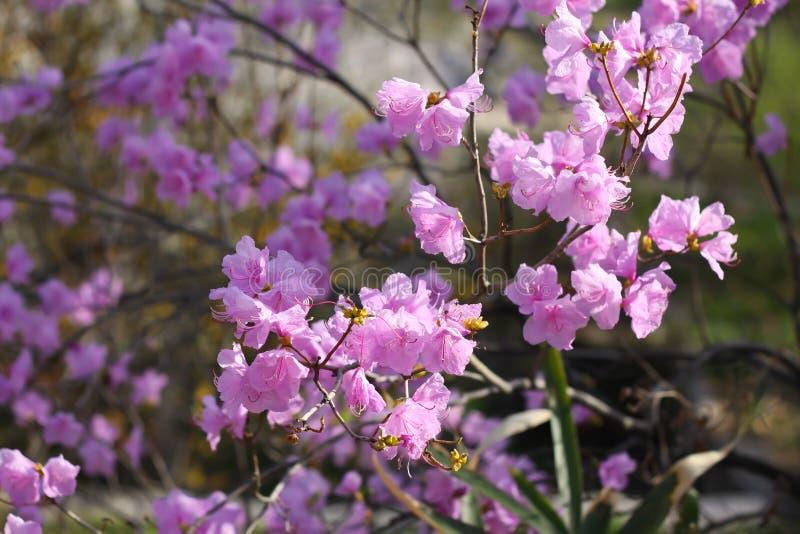 Цветение конца-вверх dauricum рододендрона красивое стоковое изображение