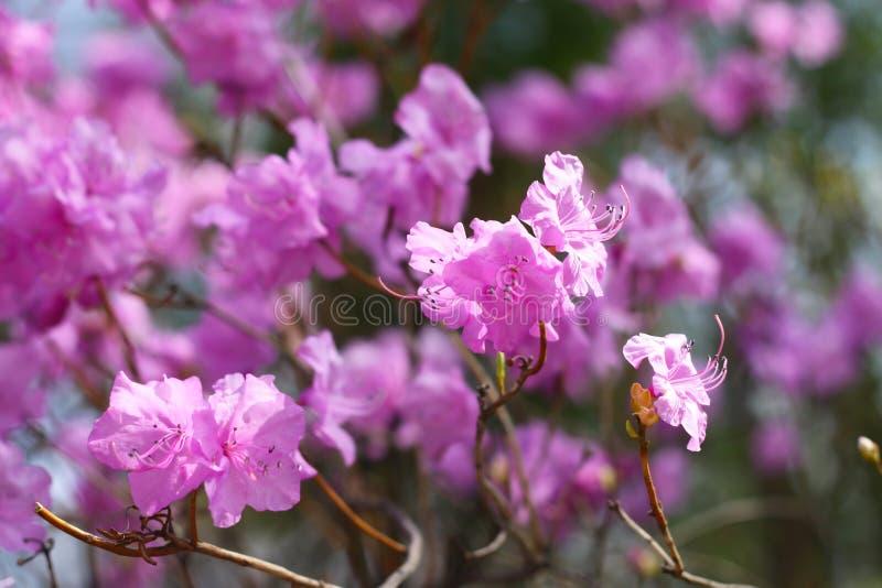 Цветение конца-вверх dauricum рододендрона красивое стоковое изображение rf
