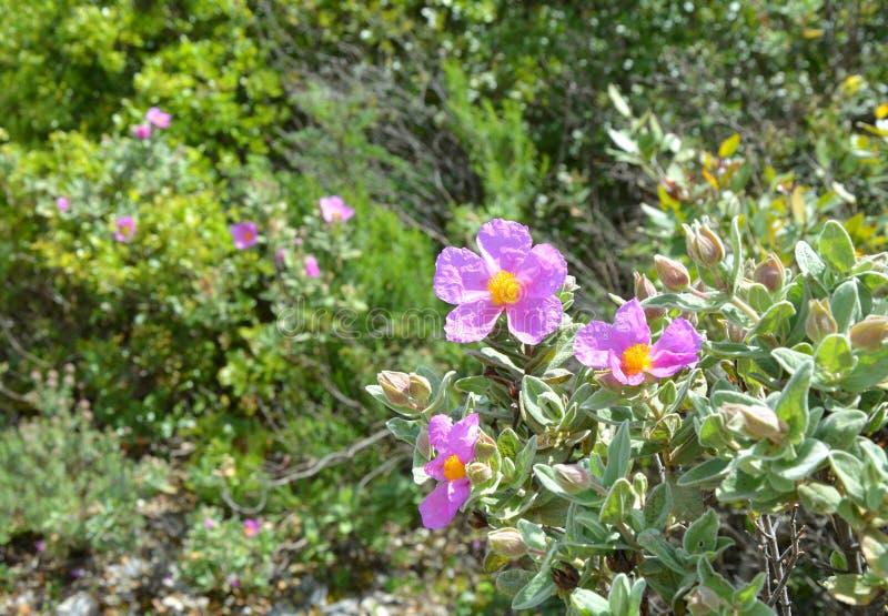 Цветение кустарника утеса Cistus розовое стоковые изображения rf