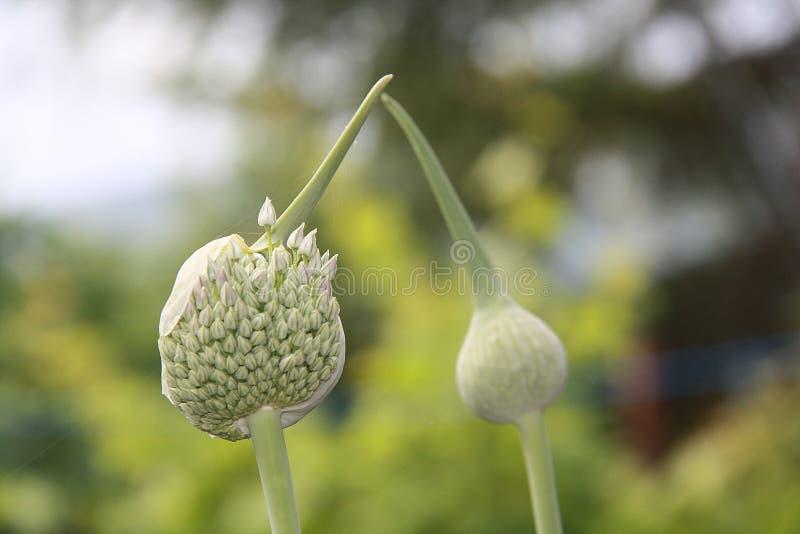 Цветение лук-порея стоковое фото rf