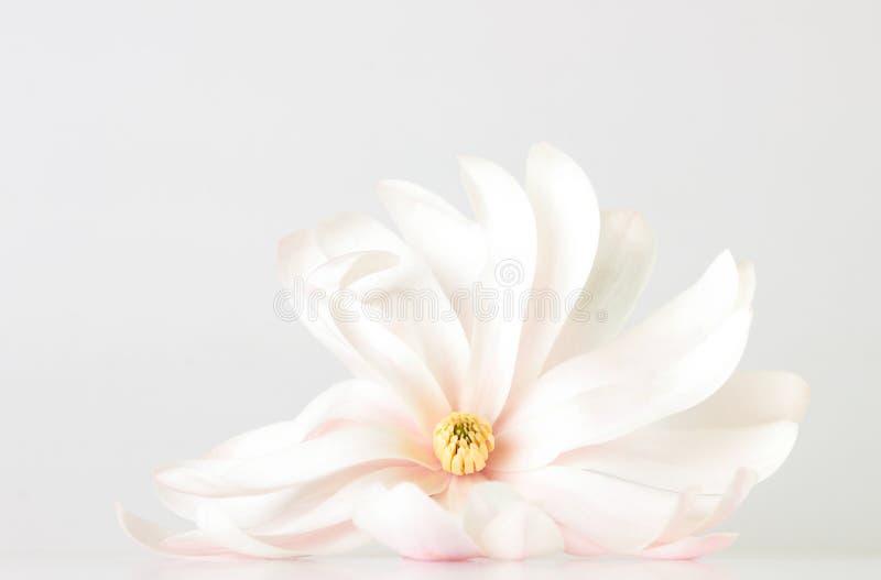 Цветение магнолии стоковое фото rf