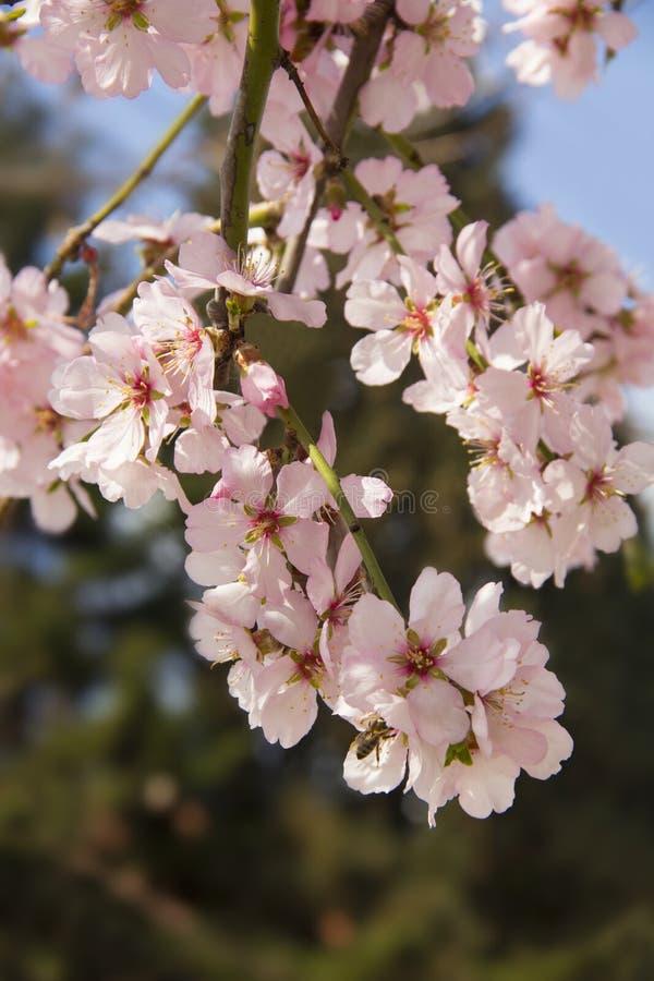 Цветение миндалины весной в Болгарии стоковые фото