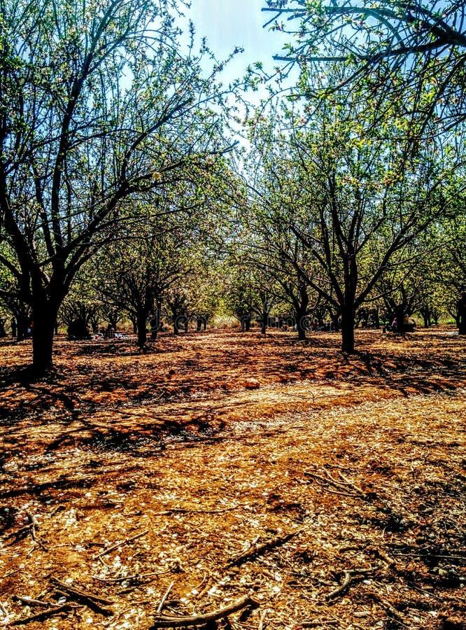 Цветение миндальных деревьев forrest стоковое фото