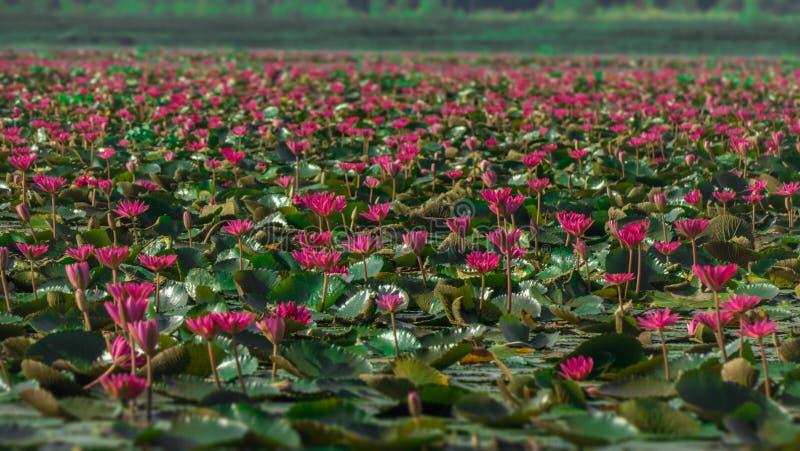 Цветение лотоса розового цвета свежее стоковое изображение rf