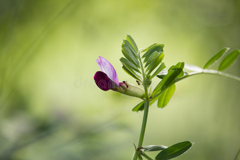 Цветение одичалого гороха стоковое изображение rf