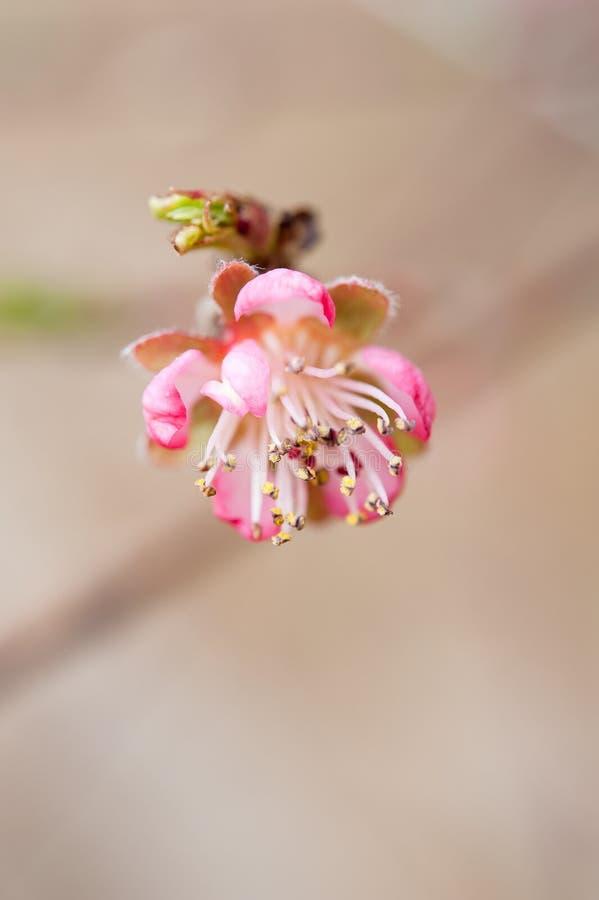 Цветение персика стоковое фото rf