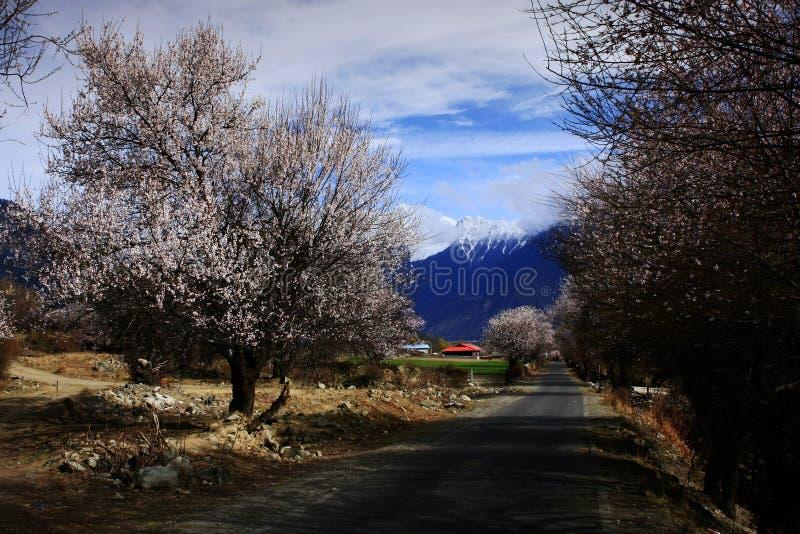 Цветение персика Nyingchi стоковые изображения