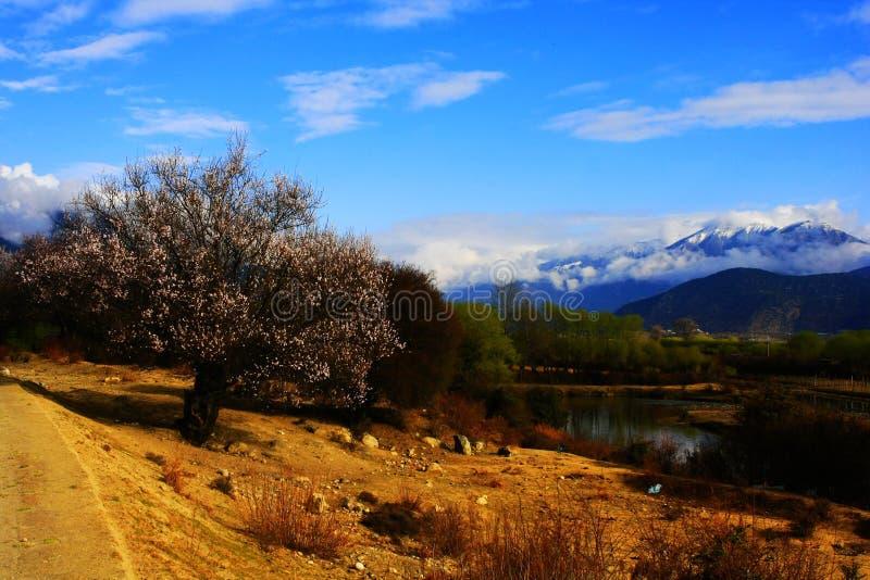 Цветение персика Nyingchi стоковая фотография