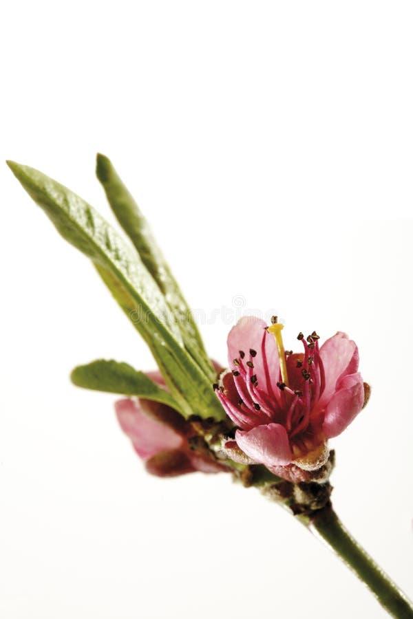 Цветение персик-дерева (Prunus Persica), конца-вверх стоковая фотография rf