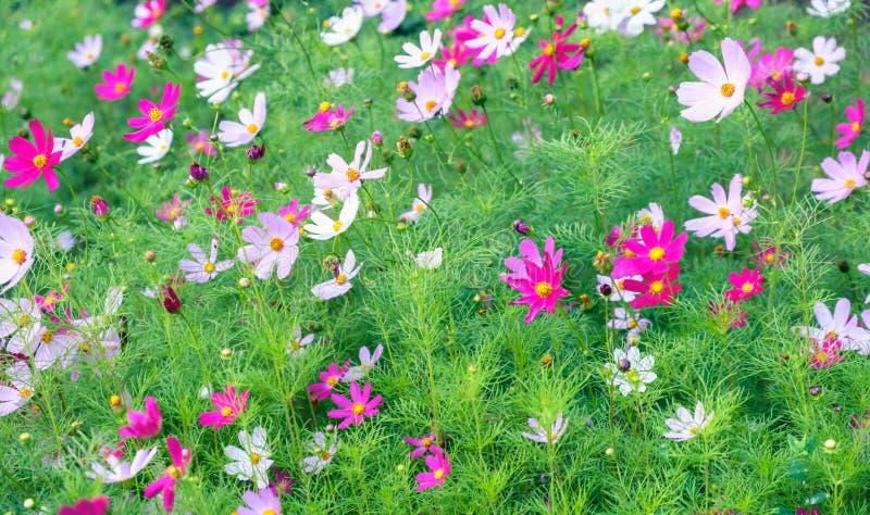 Цветение пинка цветка маргаритки красивое кровопролитное стоковое изображение