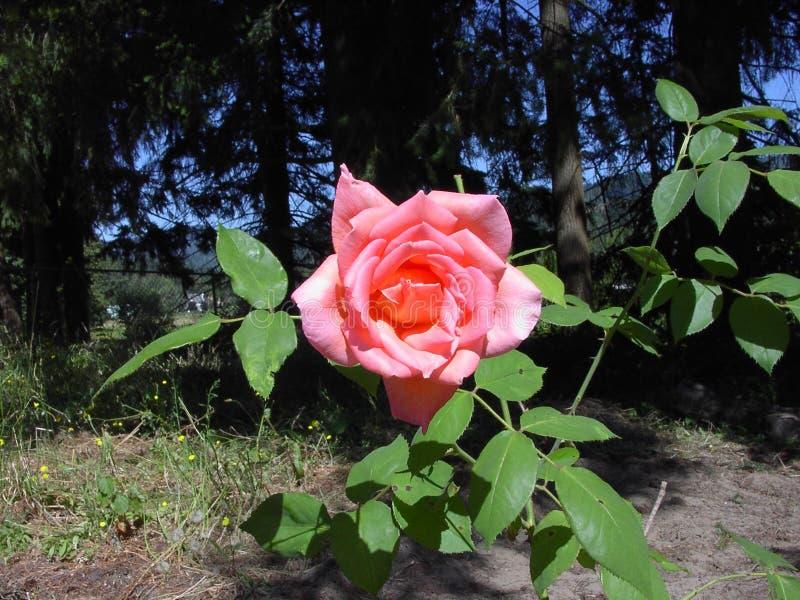 цветение подняло стоковое фото