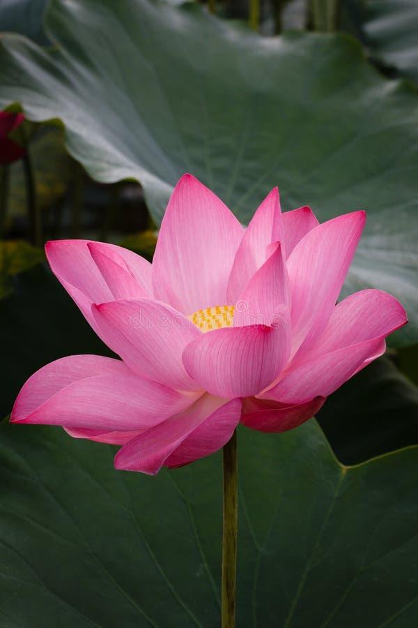 Цветение розового цветка лотоса стоковое фото rf