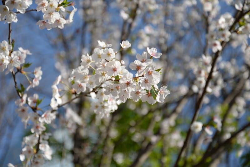 Цветение Сакуры стоковое фото rf