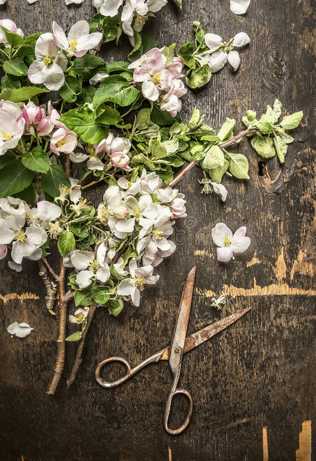 Цветение сада весны с старыми ржавыми ножницами на темной деревенской деревянной предпосылке стоковые изображения