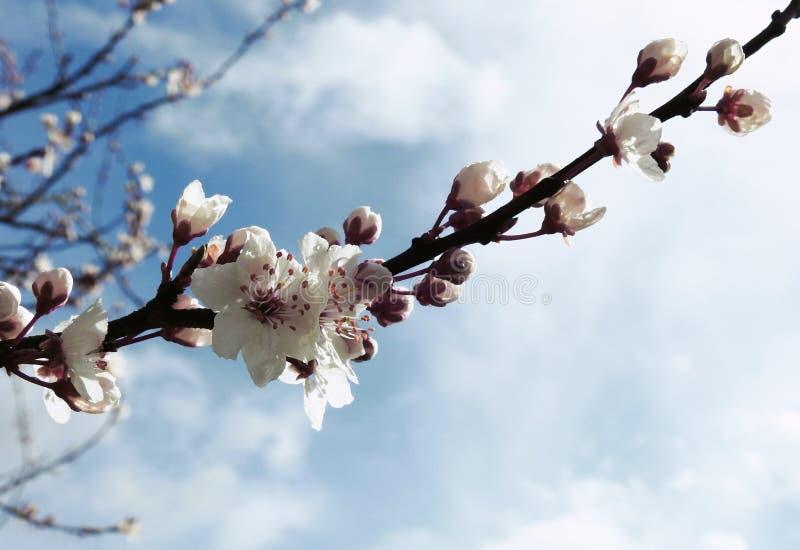 Цветение сливы вишни весной стоковое изображение rf