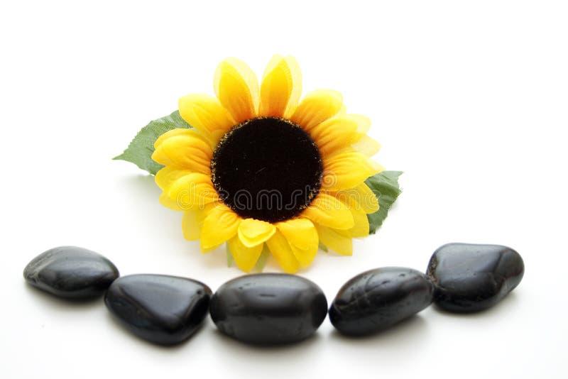 Цветение солнцецвета стоковая фотография rf