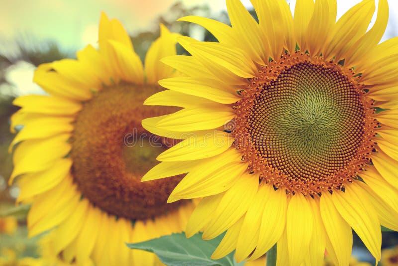 Цветение солнцецвета зацветая в тропической природе стоковая фотография