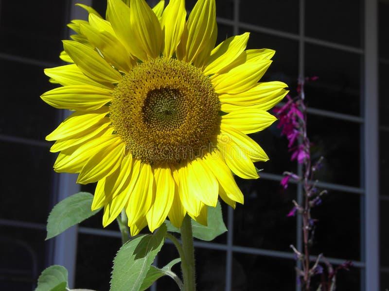 Цветение солнцецвета стоковые изображения