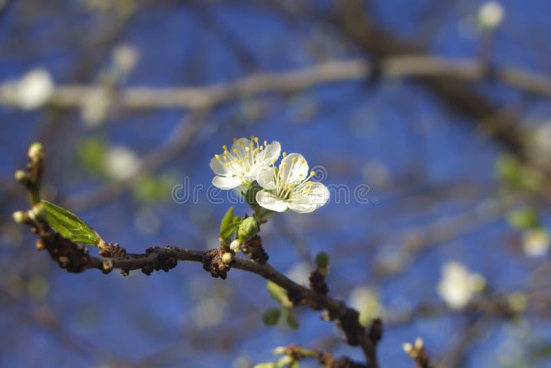 Download Цветение сливы весны стоковое фото. изображение насчитывающей вишня - 37927260