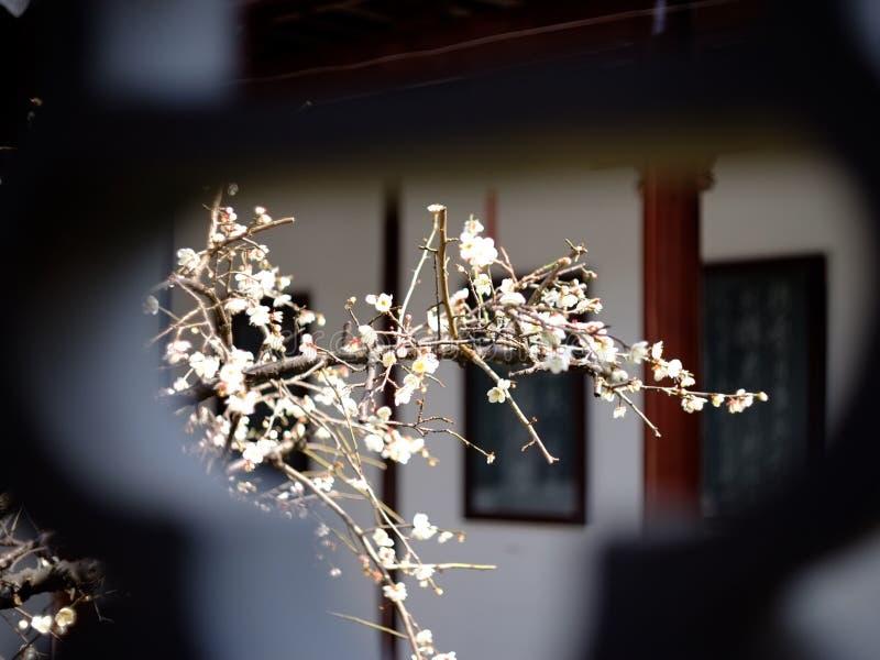 Цветение сливы зимы стоковые изображения