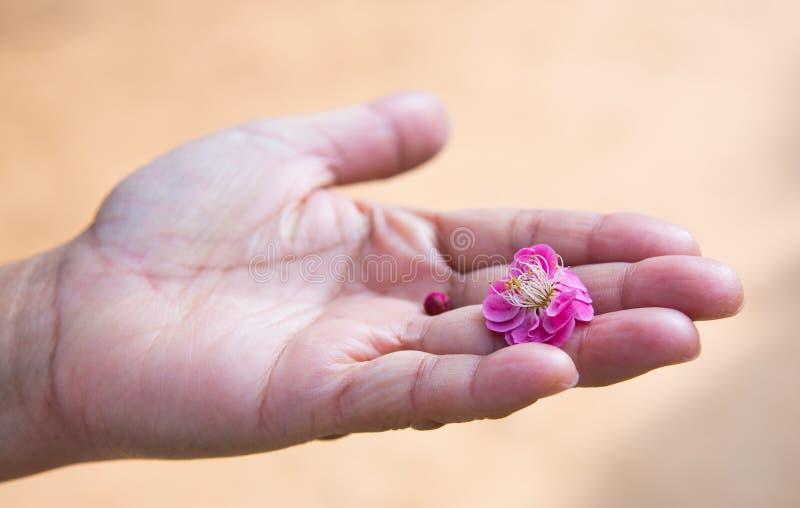 Цветение сливы стоковые фотографии rf