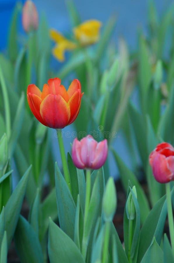 цветение тюльпана в саде стоковое фото