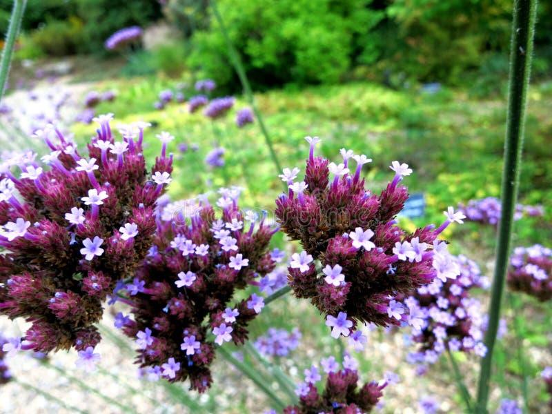 Цветение 2 лукабатуна Serie стоковое изображение