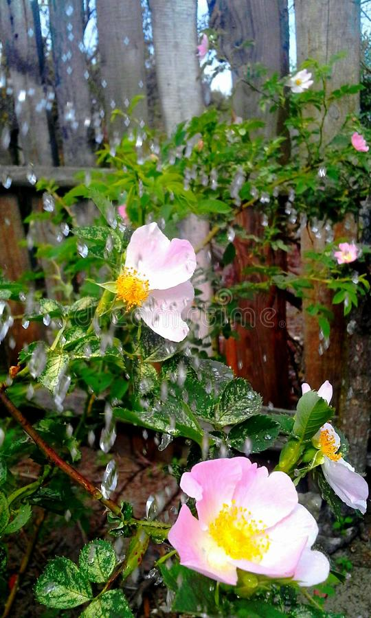 Цветение финиша canina Роза стоковое изображение