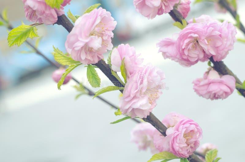 Цветение цветка вишни Сакуры весной Ветвь весны флористическая Красивые цветки на ветви дерева желтый цвет весны лужка одуванчико стоковые изображения rf