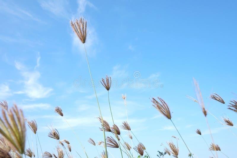 Цветение цветка дикой травы в саде против облаков голубого неба белых пушистых в ярком дне стоковые фотографии rf