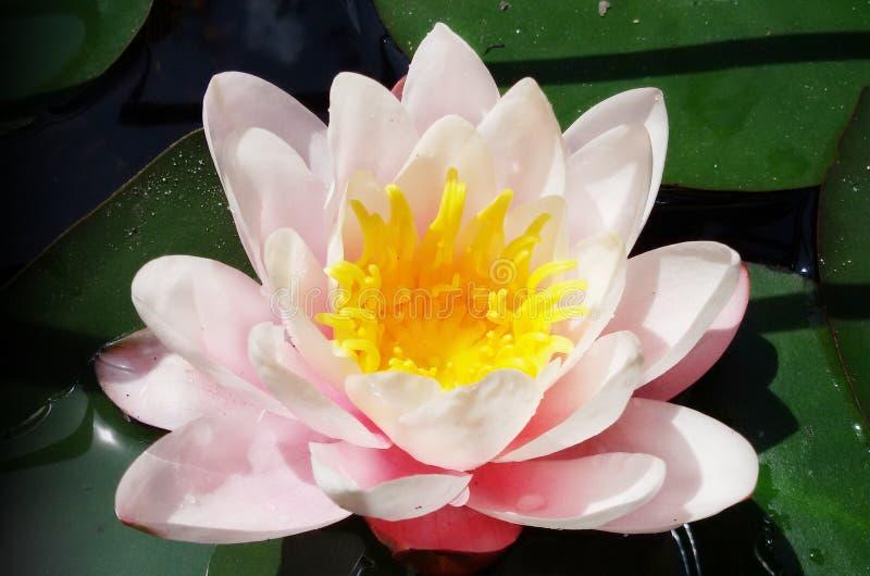 Цветение цветка лотоса в мягко пинке стоковые фотографии rf