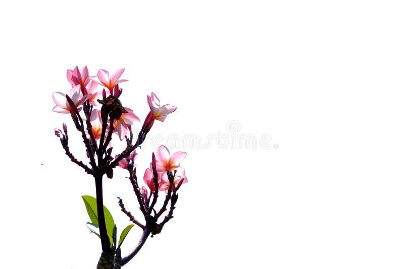 Цветение цветка Plumeria на белой предпосылке для зеленого фона листвы стоковые изображения